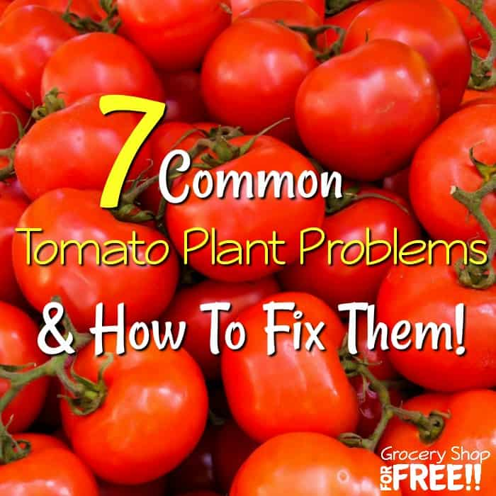 7 Tomato Plant Problems And Solutions