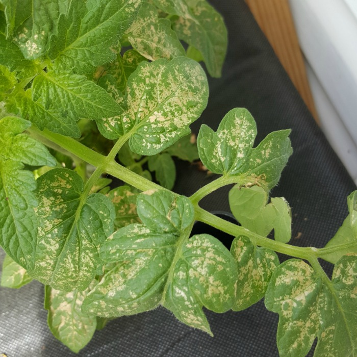 Did you know vegetable plant leaves can become sunburned?  I didn't realize that until my seedlings had a terrible case of sunburn.  I had sunburned tomato leaves, sunburned cucumber leaves, and even sunburned basil leaves.  I was able to help them recover and now I know how to prevent sunburned plants leaves!
