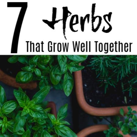 7 Herbs That Grow Well Together In Pots And Containers