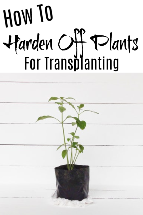 Growing seedlings indoors & then moving them directly into the garden can kill them. Follow these steps on How To Harden Off Your Plants Before Transplanting.