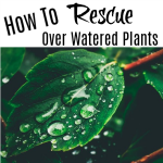 How To Rescue Over Watered Plants (1)