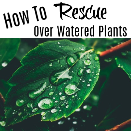 How To Rescue Over Watered Plants