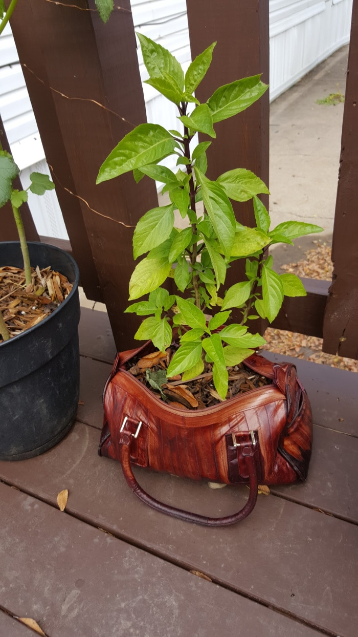 Thai Basil In A Purse