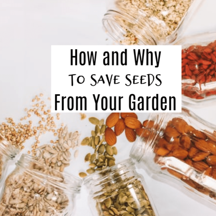 Saving seeds ensures better production in year's to come.  In this article we discuss why and how to save seeds from your garden.