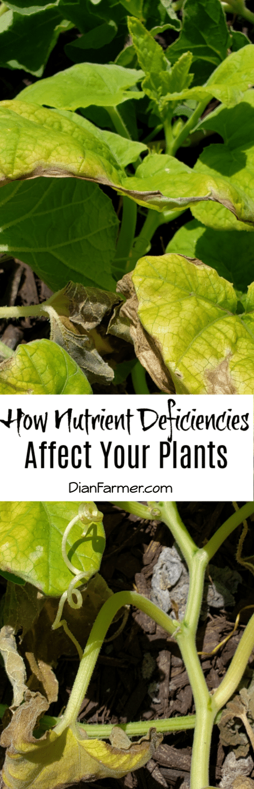 To keep plants happy and healthy and producing we need to be aware of nutrient deficiencies and how they affect the plants. Click here to learn more.