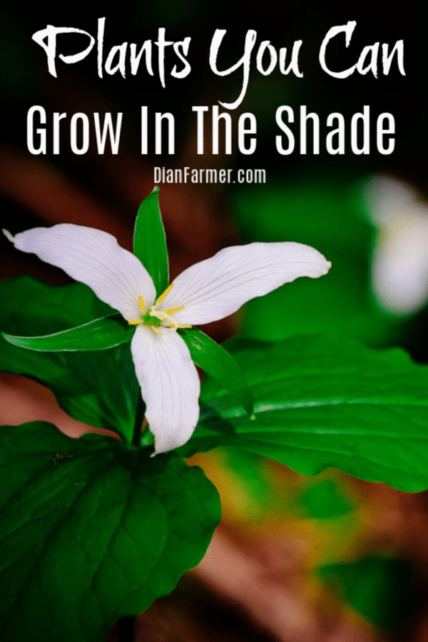 Plants You Can Grow in the Shade Or Shade Loving Perennials