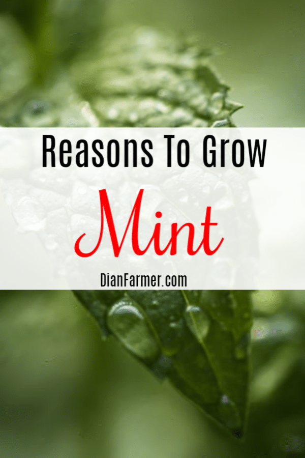 Mint gets a bad rap in the garden, but there are actually many reasons to grow mint.  Just click through to find out more.