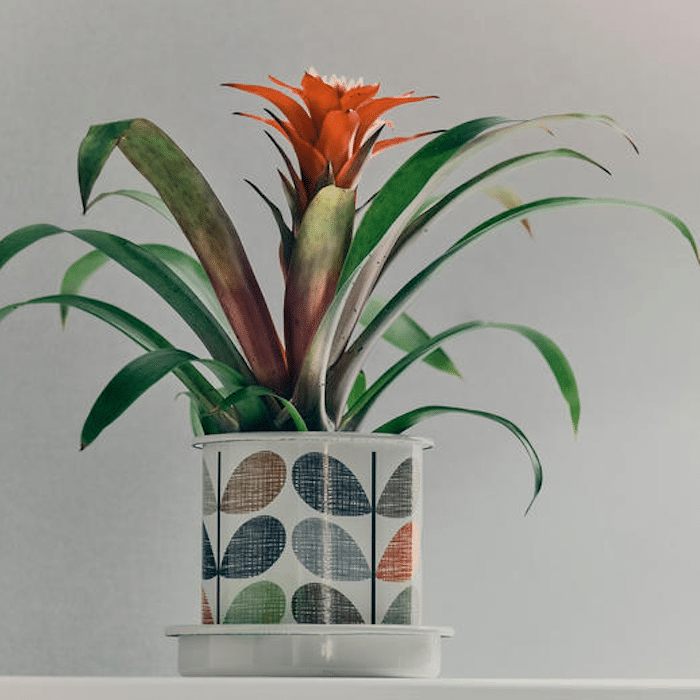 Blooming Bromeliad Houseplant in decorative container on a white table