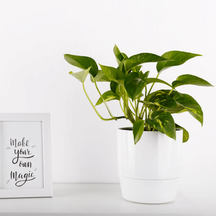 Pothos houseplant in white plater on white table with black and white framed words that say Make Your Own Magic