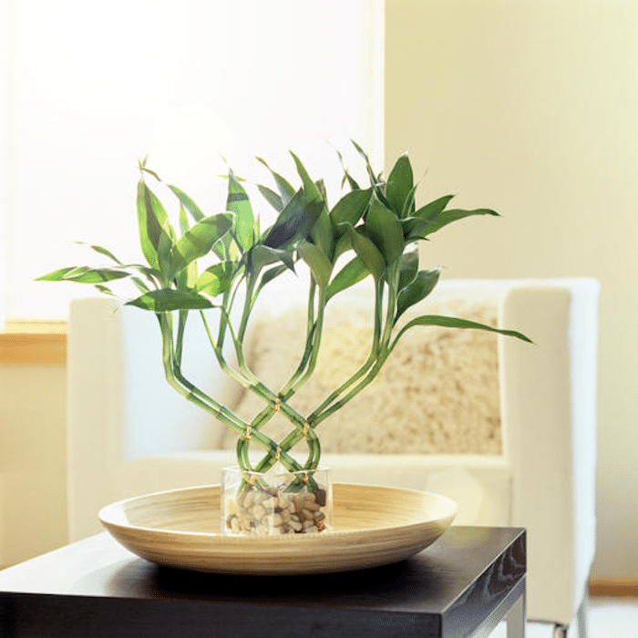 Lucky Bamboo plant in pebbles and glass container in water dish on side table in living room with white chair