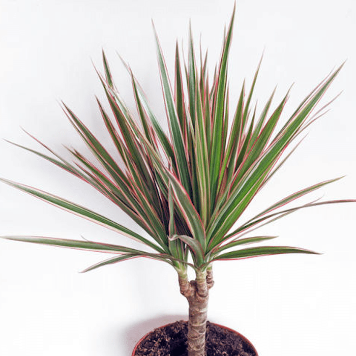Dragon Tree houseplant in pot with white background