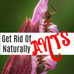 How To Get Rid Of Ants Naturally (1)