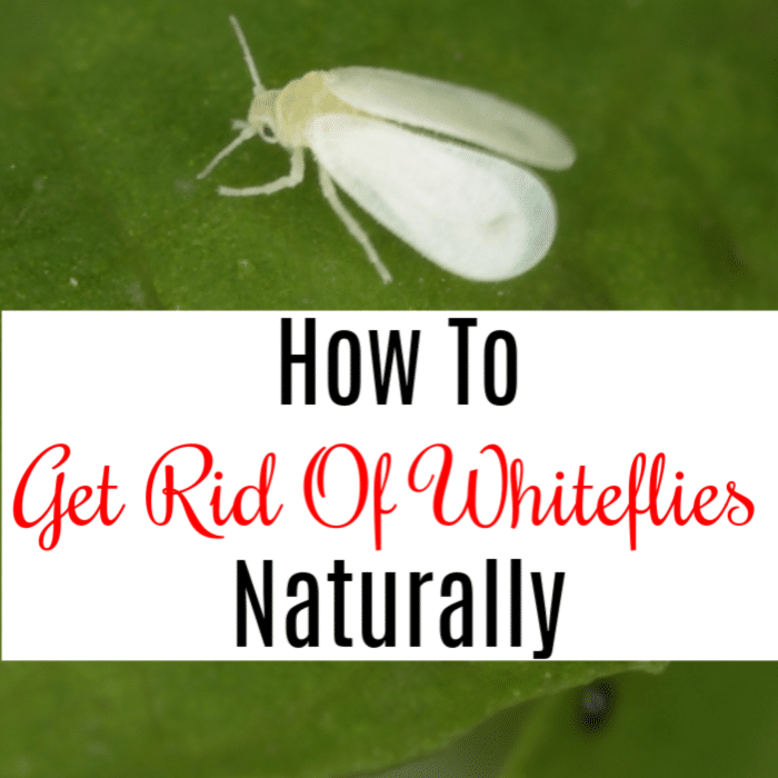 So you have a whitefly problem? Then you need to know How To Get Rid Of Whiteflies Naturally.  Click through to learn more.
