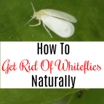How To Get Rid Of Whiteflies Naturally (3)