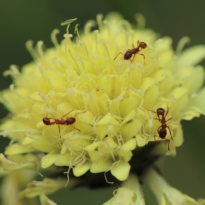 Are you having an issue with ants in your yard or garden?  Are you looking for ways to get rid of ants naturally?  If so, click through to learn how, now...
