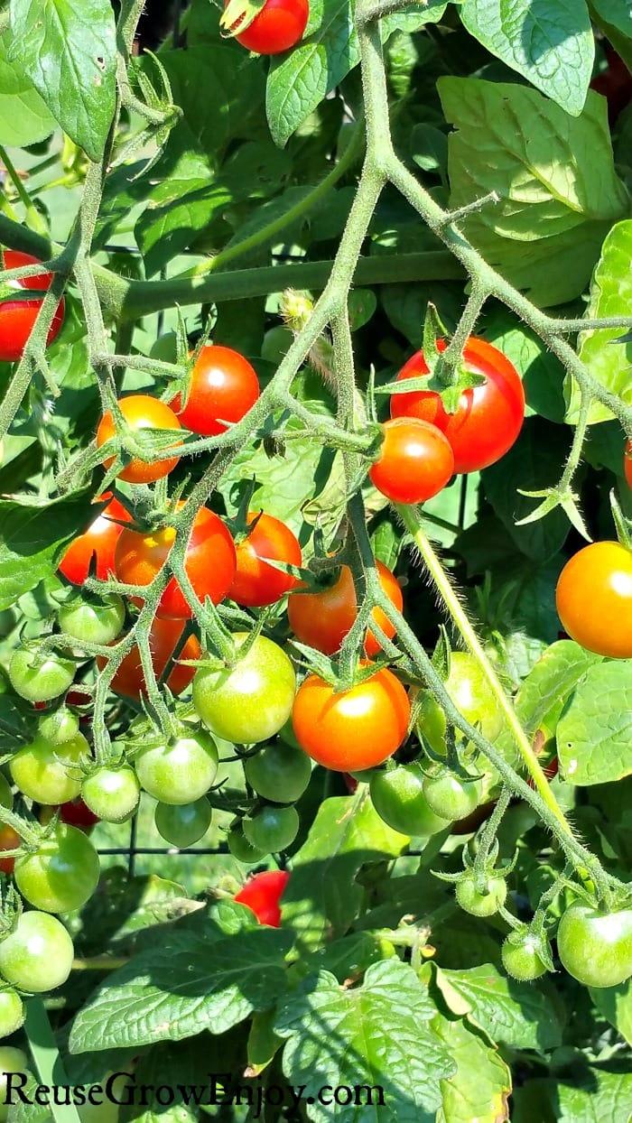 Grow-Tomatoes-Better.jpg