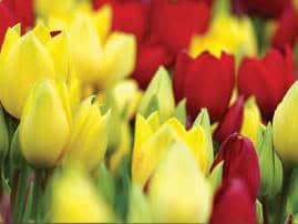 hero_13_tulipa_red_georgette.jpg