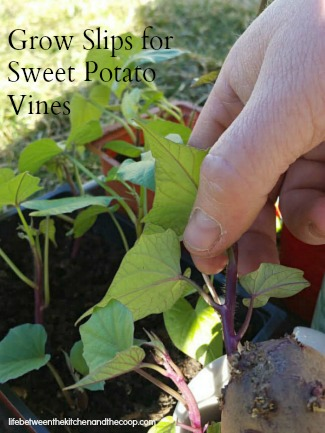 Homegrown Slips to Grow Your Own Sweet Potato Vine
