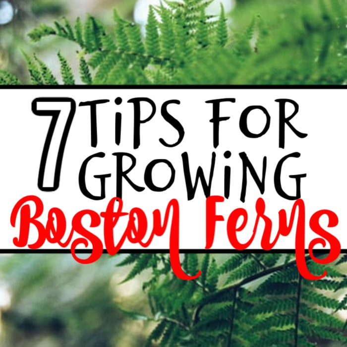 Want to know how to grow Boston Ferns outdoors, or the growing Boston fern benefits?  Do you need to know much light or the kind of fertilizer they need?  Click through to find out now...