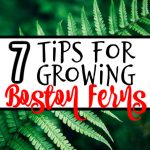 7 Tips For Growing Boston Ferns