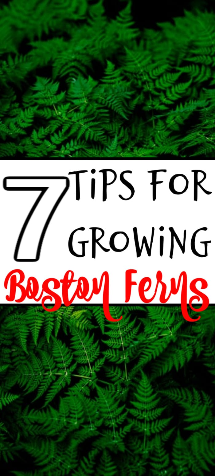 Want to know how to grow Boston Fern outdoors, or the growing Boston fern benefits?  Do you need to know much light or the kind of fertilizer they need?  Click through to find out now...