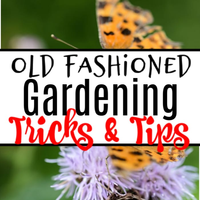 These old fashioned gardening tips can benefit us all.  Don't throw the baby out with the bathwater, let's learn from gardeners that came before us.   Click through to learn more...