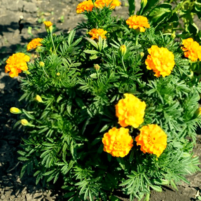 Marigolds are a staple for any vegetable garden.  There are so many reasons to grow them.  Click through NOW to see the reasons you should be growing them...