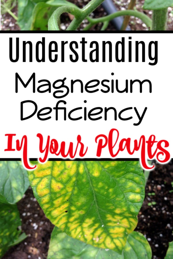 Detecting a magnesium deficiency in plants can be pretty simple if you know what to look for.  It's also a pretty easy fix, too.  Click through to read more now...