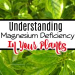 Understanding Magnesium Deficiency In Plants