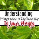 Understanding Magnesium Deficiency In Plants (3)