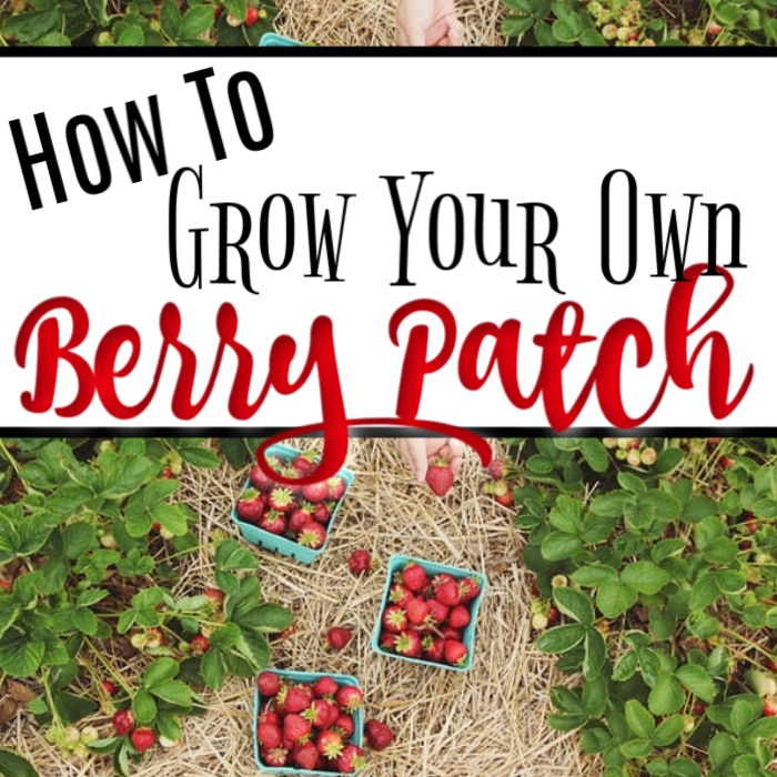 Buying berries at the store can be expensive and not so tasty.  But, growing them at home is not hard and they taste so much better.  Click through NOW to learn more about How To Grow Strawberries & Other Berries in your own garden...