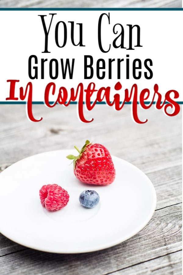 Growing berries doesn't mean you have to have a huge plot of land.  You can actually grow them in containers in a small area.  Click through NOW to learn how....