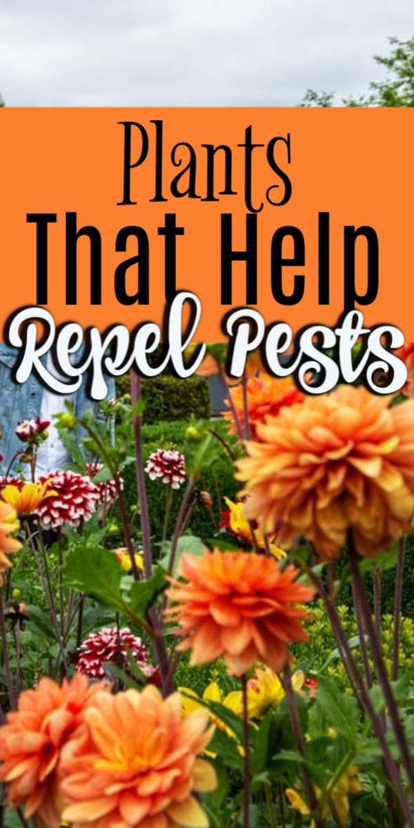 Pests unfortunately are a way of life.  In the garden however there are plants we can use to help deter them.  Click through NOW to see the 7 plants you can use in your garden to keep pests at bay....