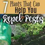 7 Plants That Help Repel Pests (3)
