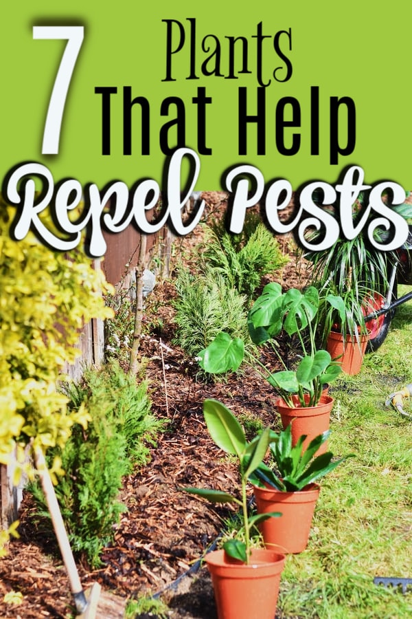 7 Plants That Help Repel Pests