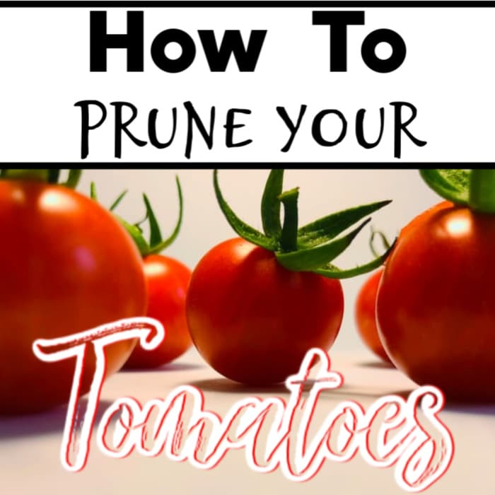 Everyone loves growing tomatoes.  But did you know pruning them correctly is an important part?  Click through NOW to learn how to prune tomatoes the right way...