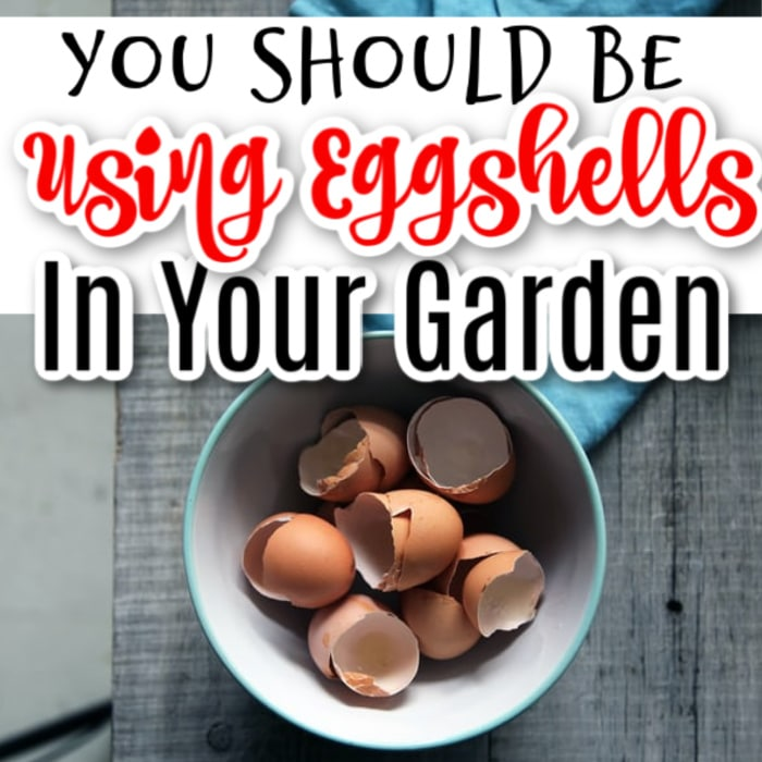 You don't have to spend a fortune on fertilizers and pest control products to care for your plants.  Sometimes you just need to head to the kitchen.  Click through NOW to see how you can use egg shells in your garden...