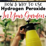 Hydrogen Peroxide In The Garden:  How & Why To Use It