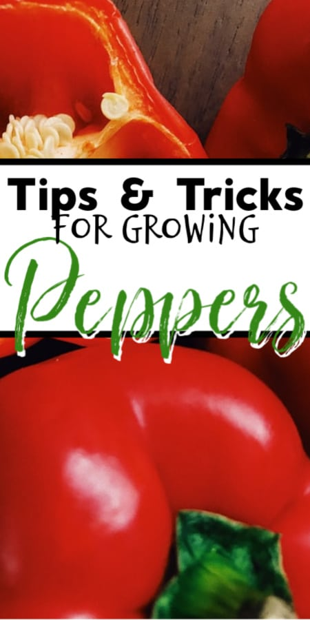 Peppers are not a hard crop to grow and there are so many different varieties from sweet to hot.  Click through NOW to learn more about growing peppers in your garden...
