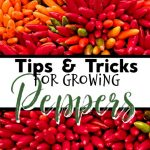 Tips & Tricks For Growing Peppers (4)