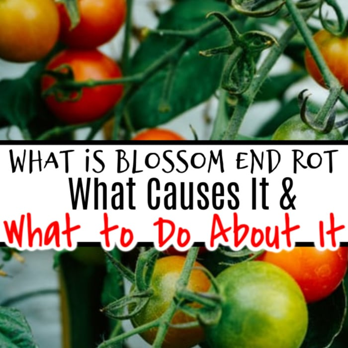 Blossom end rot can really be upsetting, but you can prevent it. Click through now to find out how to save your tomatoes, peppers, and squash from Blossom End Rot...