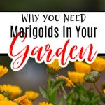 Why You Should Always Grow Marigolds In The Garden