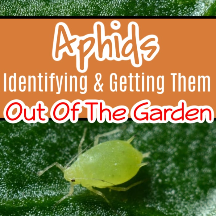 Aphids are no joke to any gardener. But they aren't that difficult to control, either. Click through NOW to learn how to identify and get rid of aphids...