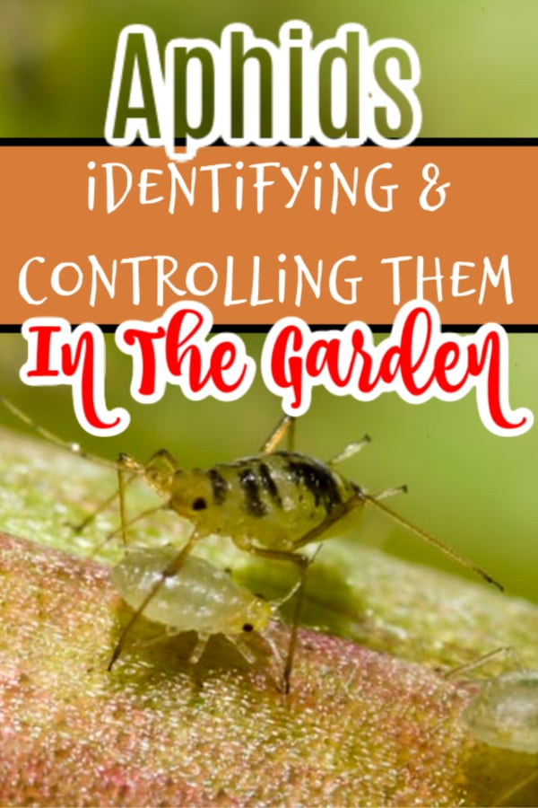 Aphids_ What Are They How To Identify & Get Rid Of Them