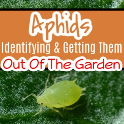 Aphids:  What Are They  How To Identify & Get Rid Of Them
