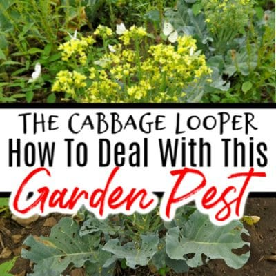 Cabbage Looper: How To Deal With This Garden Pest
