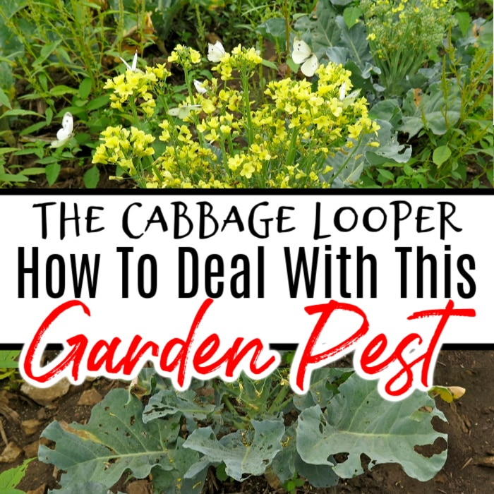 The Cabbage Looper can create a mess in no time. It eats your cabbage leaving behind leaves with holes all in them. Click through NOW to learn how to get rid of them...