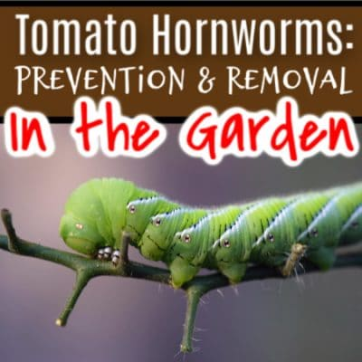 Tomato Hornworm: How To Prevent & Deal With Them In The Garden