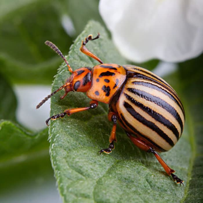 Did you know that Potato Beetles don't just affect potatoes? Click through NOW to learn what other plants they can affect as well as how to identify, and control them in your garden...