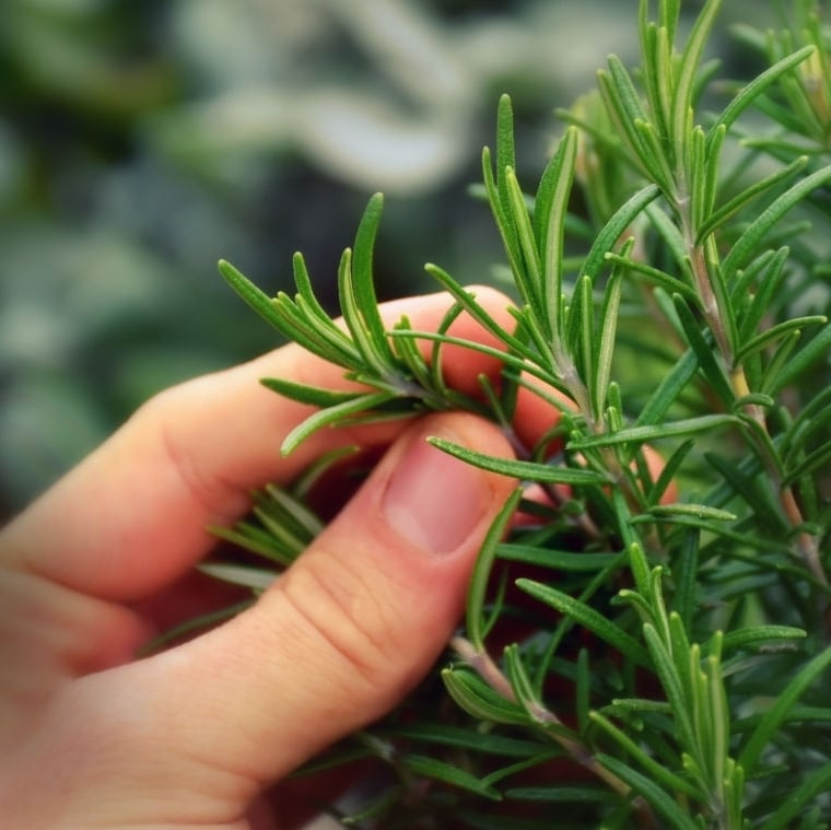 Rosemary plants are some of the easiest to grow. The Rosemary herb is great for cooking, making Rosemary essentials Oil, and more.  Click through NOW to learn all about growing Rosemary in your garden...